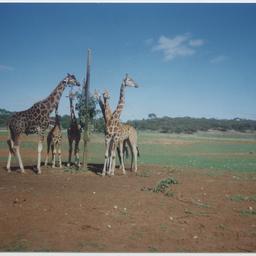 Giraffes at Monarto Zoological Park