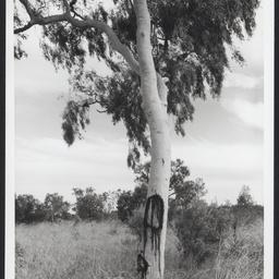 Gum tree in long grass