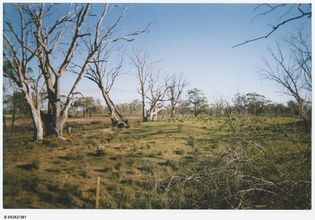 Dead trees on the bank of River Murray at Waikerie