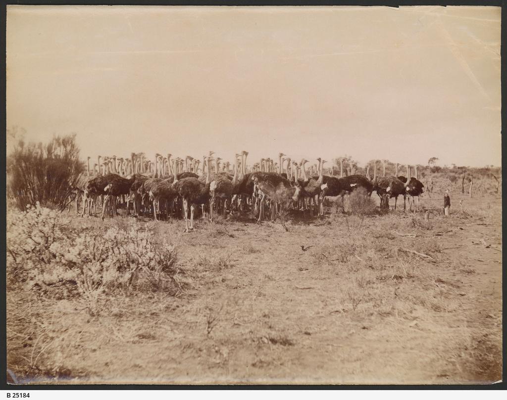 Ostriches, Port Augusta