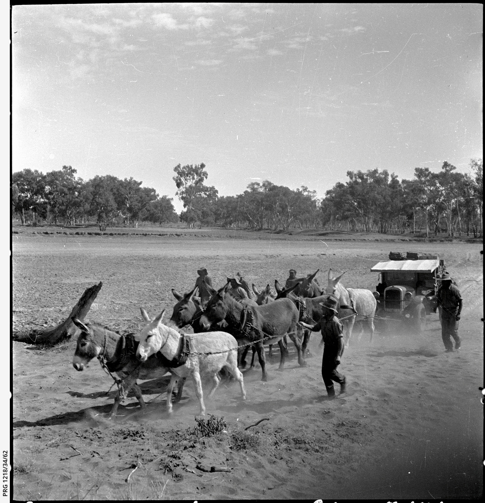 Donkey team towing Chevrolet truck