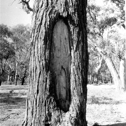 Canoe tree in the Hay district, Mr. Houston's property