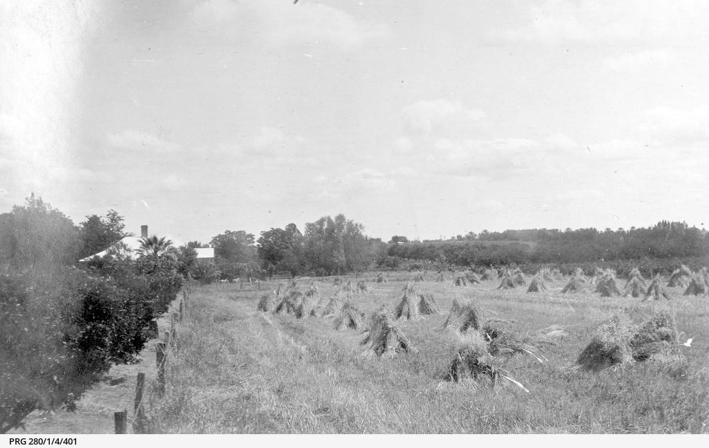 A wheat paddock