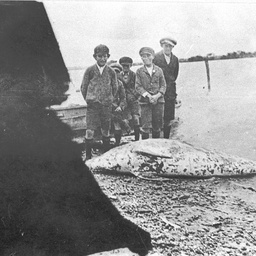 Schoolboys standing around a large dead porpoise at Tailem Bend