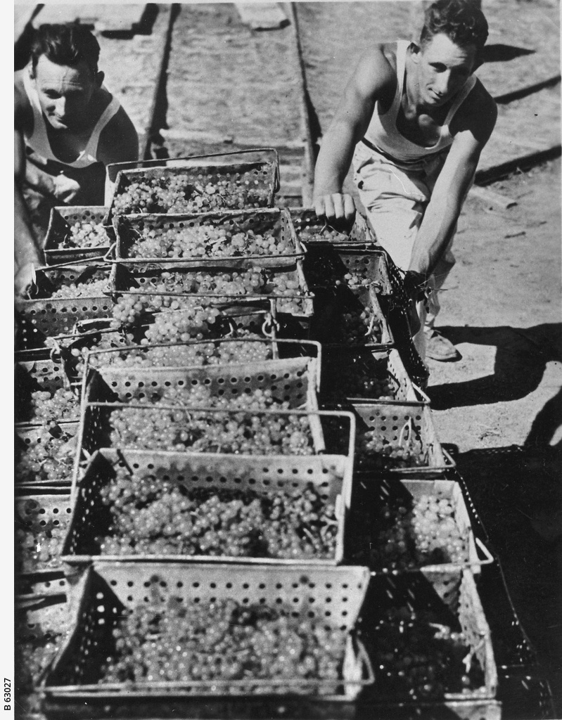Grapes for the dried fruit industry ? Photograph ? State Library of South Australia799 x 1024 jpeg 336kB