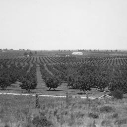 Orchards at Berri