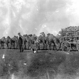 Camels pulling a wood cart