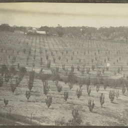 Orchards of young apple and pear trees on Wittunga farm