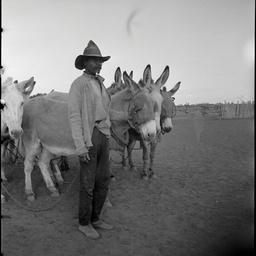 Aboriginal stockman with donkey team