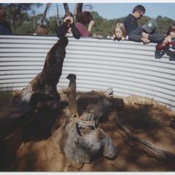 Meerkats at Monarto Zoological Park
