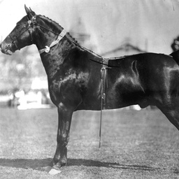 Prize-winning stallion at an Adelaide show