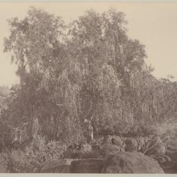 Native Willow Tree