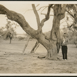 Burke's tree, Fort Wills