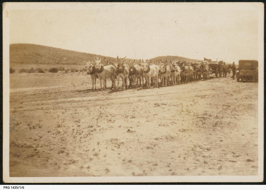 Donkey team near Woltana
