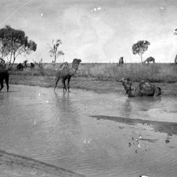 Camels used for exploring South Australia