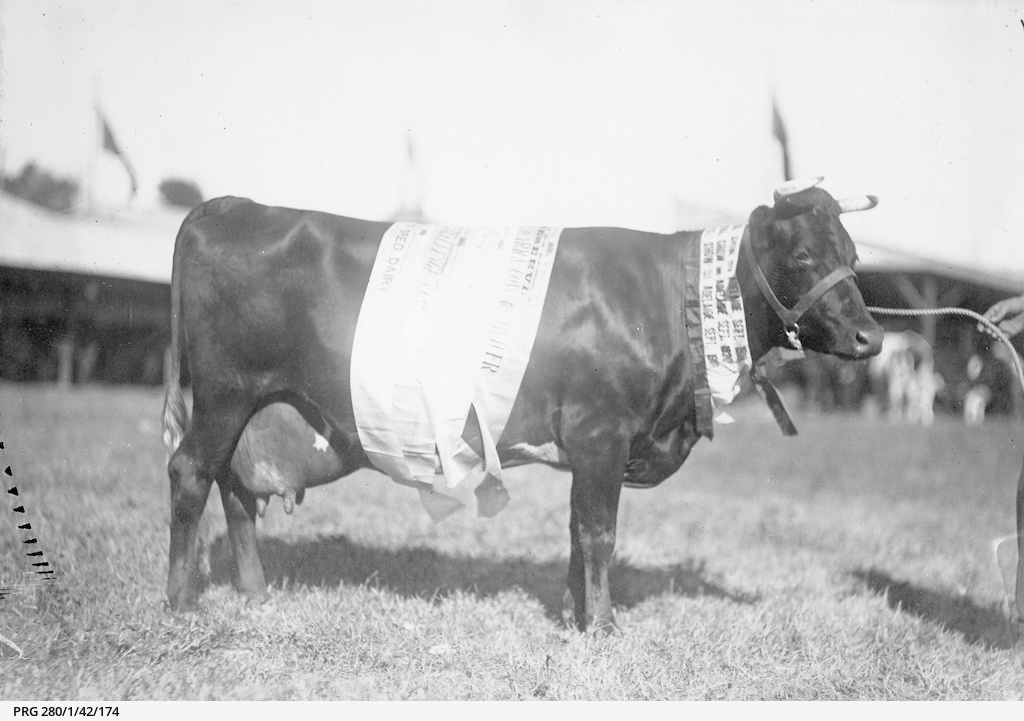 Prize winning cow