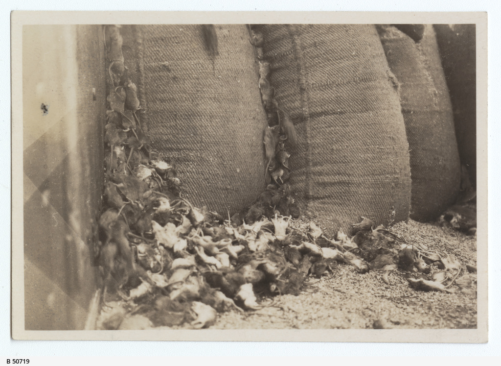 Gassed mice at a wheat stack