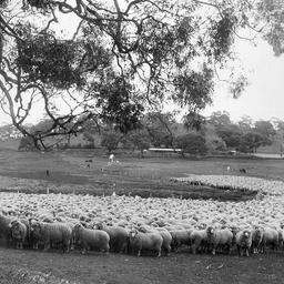 Sheep at Bungaree