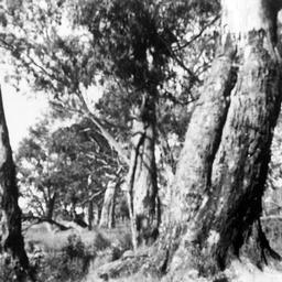 Canoe Tree at Kroehns Landing