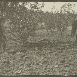Cultivating the orchard on Wittunga farm