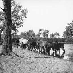Horses drinking at Hamilton Bore