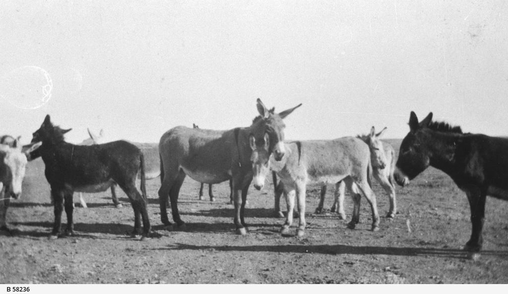 Donkeys grazing near Oodnadatta