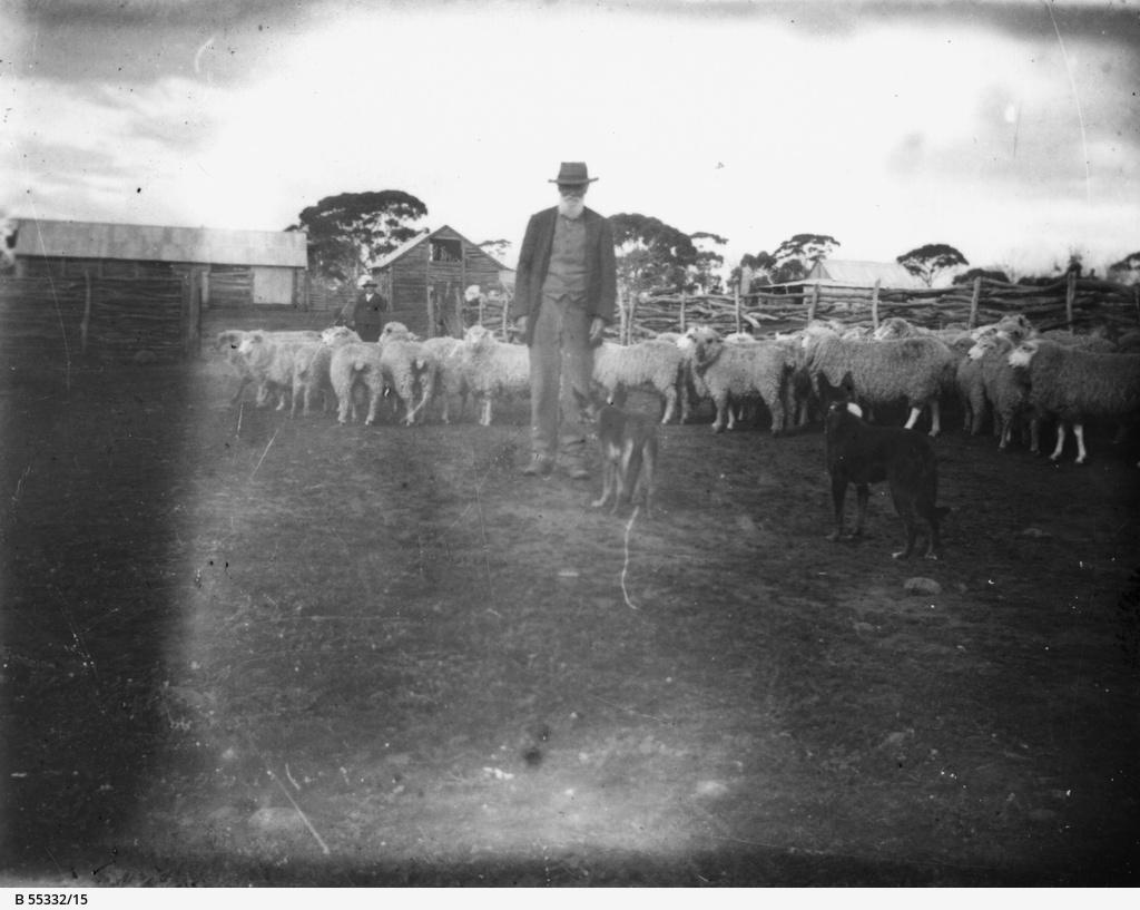 Sheep in yard