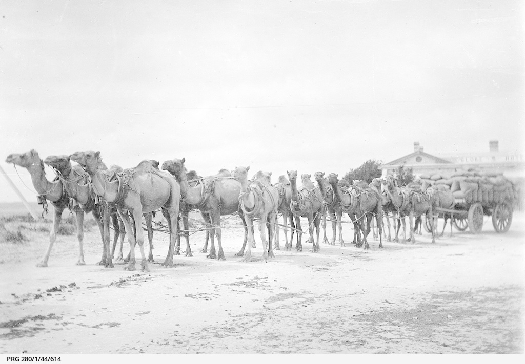 Camel team at Fowlers Bay, South Australia