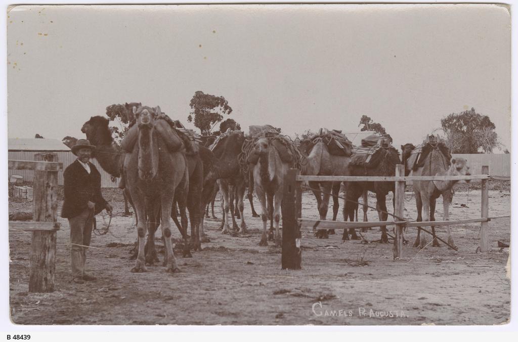 Camels at Port Augusta