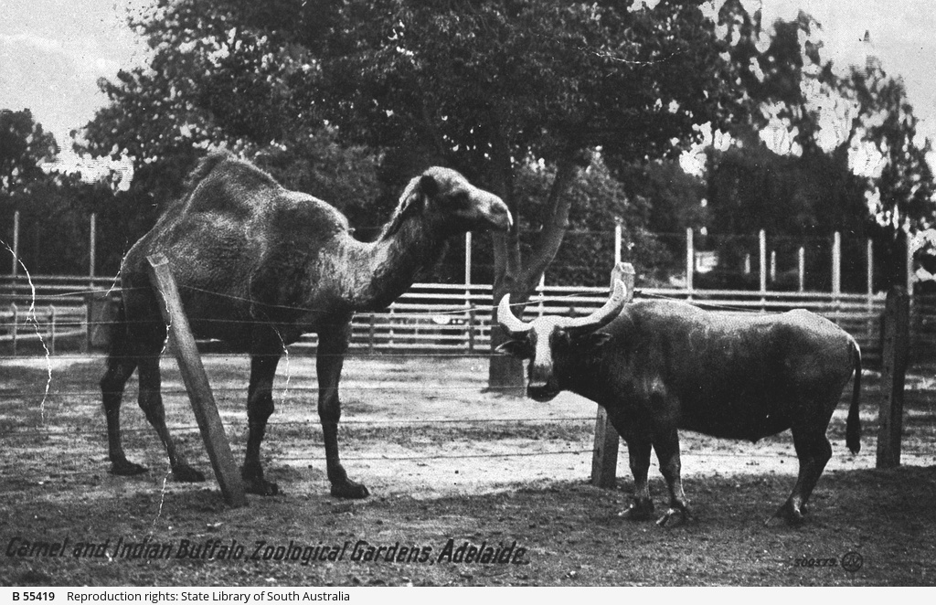 Camel and Indian Buffalo at the Adelaide Zoological Gardens