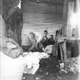 Working in the shearing shed