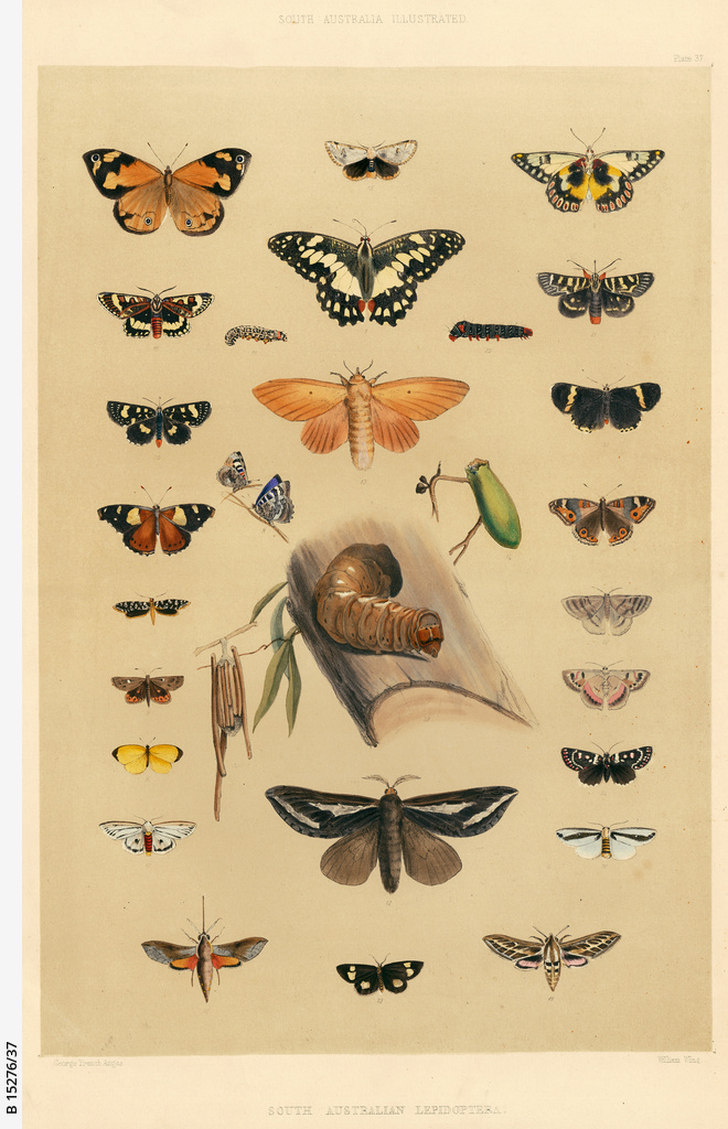 Entomology of South Australia - Lepidoptera