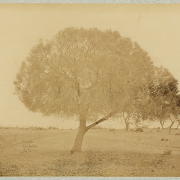 Sheoak tree