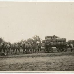 William Pearce's camel team