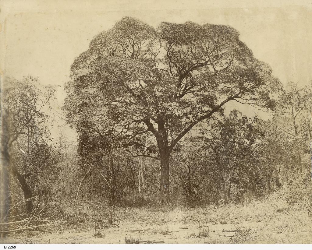 Stuart's tree
