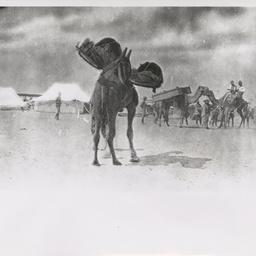 Camel cacolets.