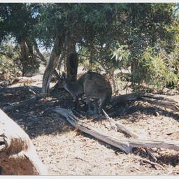 A kangaroo on a pet kangaroo farm in Coonalpyn