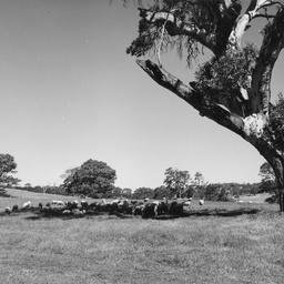 Sheep at Woodside