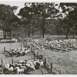 Yarding sheep at Blackwood in South Australia
