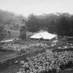 Sheep shearing at Mount Beevor