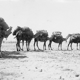 Camels carrying heavy loads