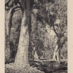 Gums of the Flinders