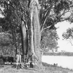 Two men standing at a tree with bark removed for canoes
