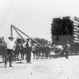 Bullock teams carting a record load of wool by wagon at Echuca