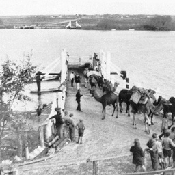 Camels crossing on the Tailem Bend Punt
