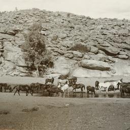 Horses Watering