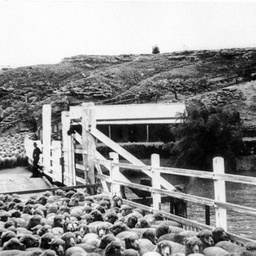 Tailem Bend punt loading sheep