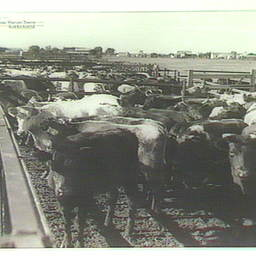 Cattle at Marree
