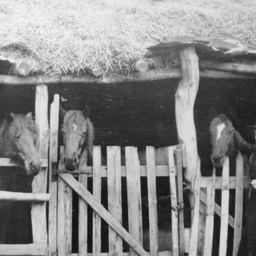 Horses in shed