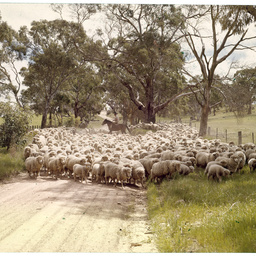 Sheep droving, South Australia